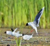 The black-headed gull (Chroicocephalus ridibundus) Stock Images