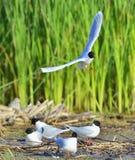 The black-headed gull (Chroicocephalus ridibundus) Royalty Free Stock Images