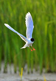 The black-headed gull (Chroicocephalus ridibundus) Royalty Free Stock Photography