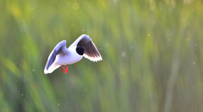The black-headed gull (Chroicocephalus ridibundus) Stock Photography