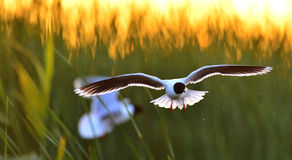 The black-headed gull (Chroicocephalus ridibundus) Stock Images
