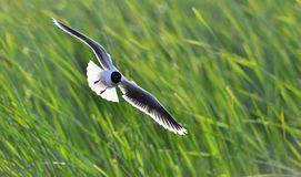 The black-headed gull (Chroicocephalus ridibundus) Royalty Free Stock Photos
