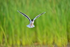 The black-headed gull (Chroicocephalus ridibundus) Stock Photo