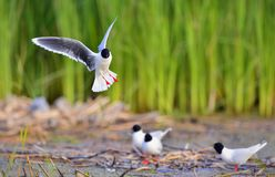 The black-headed gull (Chroicocephalus ridibundus) Royalty Free Stock Image