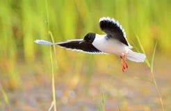 The black-headed gull (Chroicocephalus ridibundus) Royalty Free Stock Photography