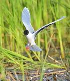 The black-headed gull (Chroicocephalus ridibundus) Royalty Free Stock Image
