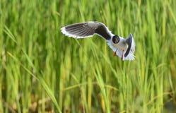The black-headed gull (Chroicocephalus ridibundus) Stock Image