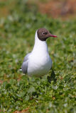 Black Headed Gull (Chroicocephalus ridibundus) Royalty Free Stock Photography