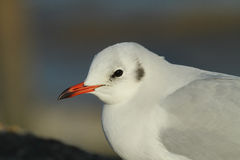 Black-headed Gull Chroicocephalus ridibundus headshot. Royalty Free Stock Photos