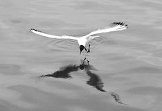 Black-headed gull (Chroicocephalus ridibundus) hovering over surface of water. Gull reflected in the Caspian Sea whilst hunting fish, in black and white Royalty Free Stock Photos