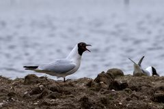 Black-headed gull, Chroicocephalus ridibundus, screamiing. Black-headed Gull, Chroicocephalus ridibundus, with its adult plumage on a marine background stock images