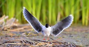 The black-headed gull (Chroicocephalus ridibundus) Royalty Free Stock Photo