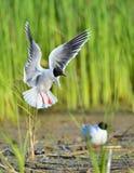 The black-headed gull (Chroicocephalus ridibundus) Royalty Free Stock Photos