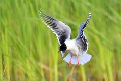 The black-headed gull (Chroicocephalus ridibundus) Stock Photography