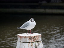 Black-headed gull - Chroicocephalus ridibundus Royalty Free Stock Photography
