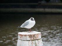 Black-headed gull - Chroicocephalus ridibundus Stock Photo