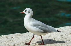 Black-headed Gull Stock Image