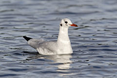 Black-headed gull, Chroicocephalus ridibundus Stock Image