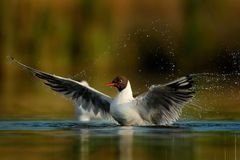 The Black-headed Gull & x28;Chroicocephalus ridibundus& x29;. On a surface of a pond fluttering with it& x27;s wings Stock Photography