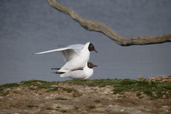 Black-headed gull, Chroicocephalus ridibundus Royalty Free Stock Photos