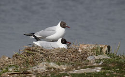 Black-headed gull, Chroicocephalus ridibundus Stock Images