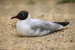 Black-headed gull (Chroicocephalus ridibundus). Royalty Free Stock Image