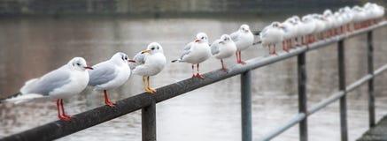 Black-headed gull Chroicocephalus ridibundus in winter plumage. Black-headed gulls Chroicocephalus ridibundus in winter plumage with red bill and legs in a row Stock Image
