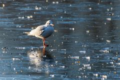 Seagull standing on ice lake royalty free stock image