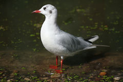 Black-headed gull (Chroicocephalus ridibundus). Stock Photo