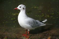 Black-headed gull (Chroicocephalus ridibundus). Royalty Free Stock Photos