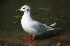 Black-headed gull (Chroicocephalus ridibundus). Royalty Free Stock Photos