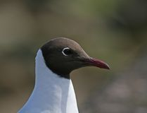 Black-headed Gull close-up Stock Image