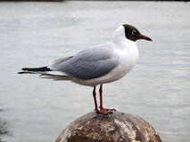 Black-Headed Gull. A coastal harbor view of a black-headed seagull standing on top of an old weathered concrete post royalty free stock photos