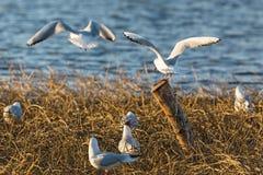 Black-headed gull colony Royalty Free Stock Photography