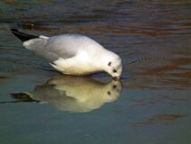 Black-headed gull drinking water