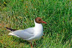Black-headed gull, Farne Islands Nature Reserve, England Stock Photo