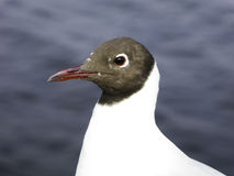 A Black-headed Gull feature Stock Photography