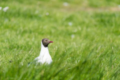 Black-headed gull in field Stock Image