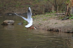 Black-headed gull with fish Royalty Free Stock Photo