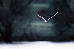 black-headed gull flies by breaking wind and snow Stock Photos
