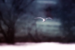 Black-headed gull flies by breaking wind and snow Royalty Free Stock Image