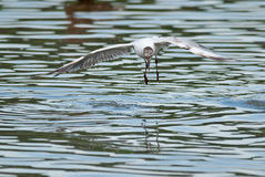 Black-headed gull flies Royalty Free Stock Photos