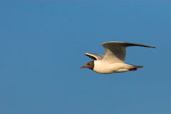 Black-headed gull in flight. Shot in Burgenland, Austria Royalty Free Stock Image