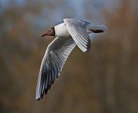 Black-headed Gull in flight. Black-headed Gull (Chroicocephalus ridibundus stock photos