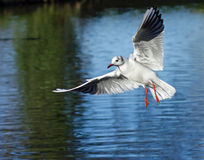 Black-headed Gull in Flight Stock Images