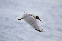 Black headed gull in flight carrying twig. A nest building black headed gull (Chroicocephalus ridibundus) flies past carrying a twig in its beak royalty free stock images