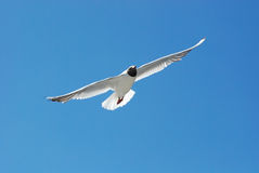 Black-headed gull (Chroicocephalus ridibundus) Royalty Free Stock Image