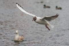 Black-headed gull in flight. Black-headed Gull flying over water Royalty Free Stock Photos