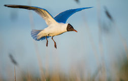 Black-headed Gull in flight Royalty Free Stock Image