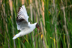 Black-headed Gull in flight Royalty Free Stock Images